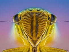Paulo Latães高清昆虫微距摄影欣赏