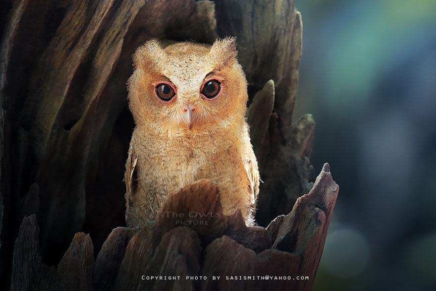 动物摄影作品欣赏:猫头鹰