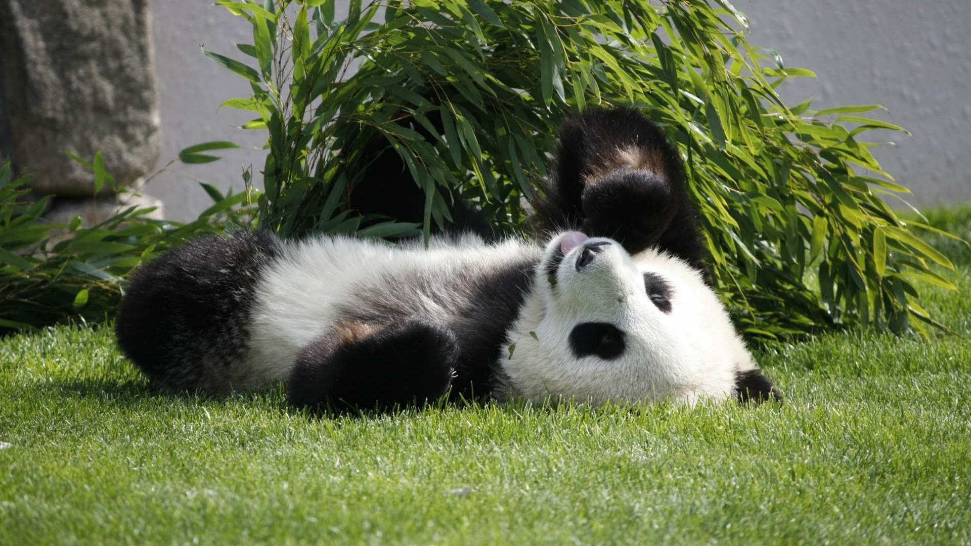 壁纸 大熊猫 动物 狗 狗狗