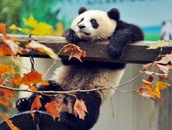 20張可愛熊貓桌面壁紙