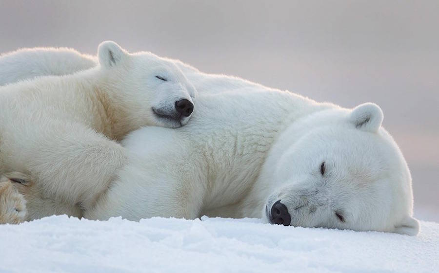 可爱北极熊宝宝摄影图片欣赏
