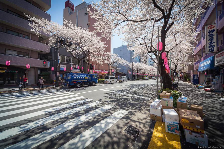 东京美丽的樱花摄影欣赏