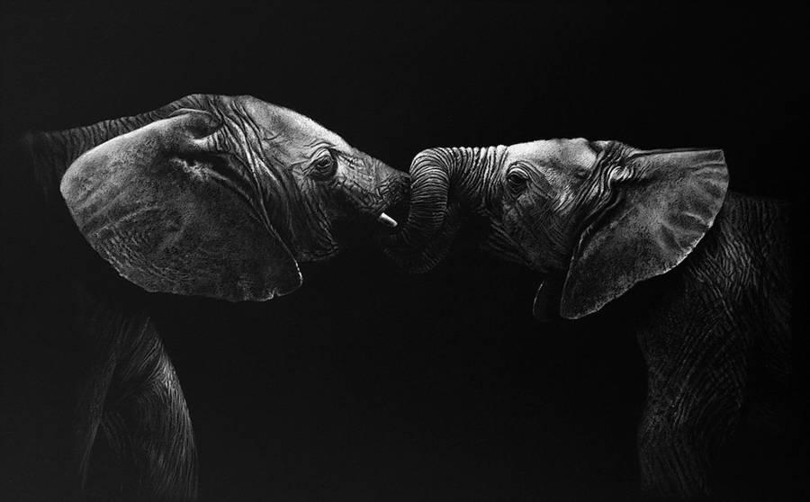 symonds野生动物黑白肖像画作品