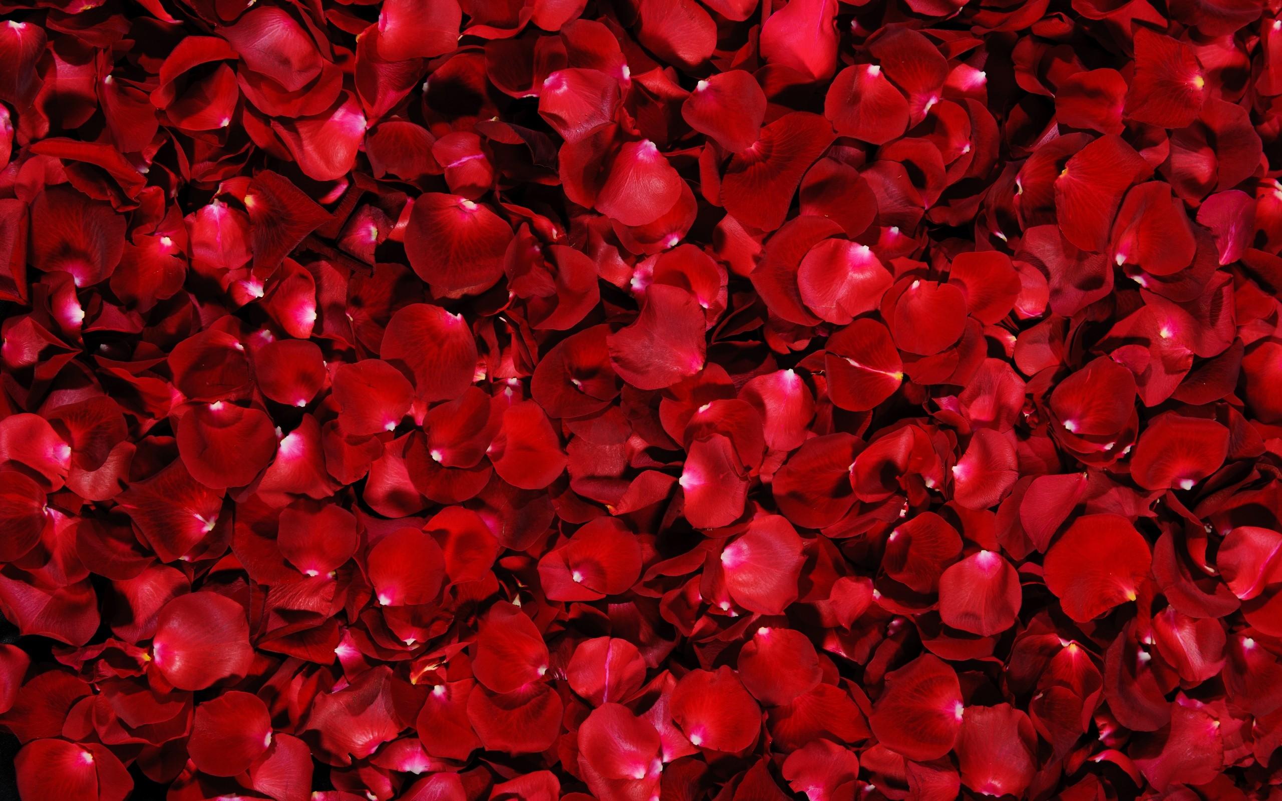 游戏资讯_30个玫瑰花桌面壁纸 - 设计之家