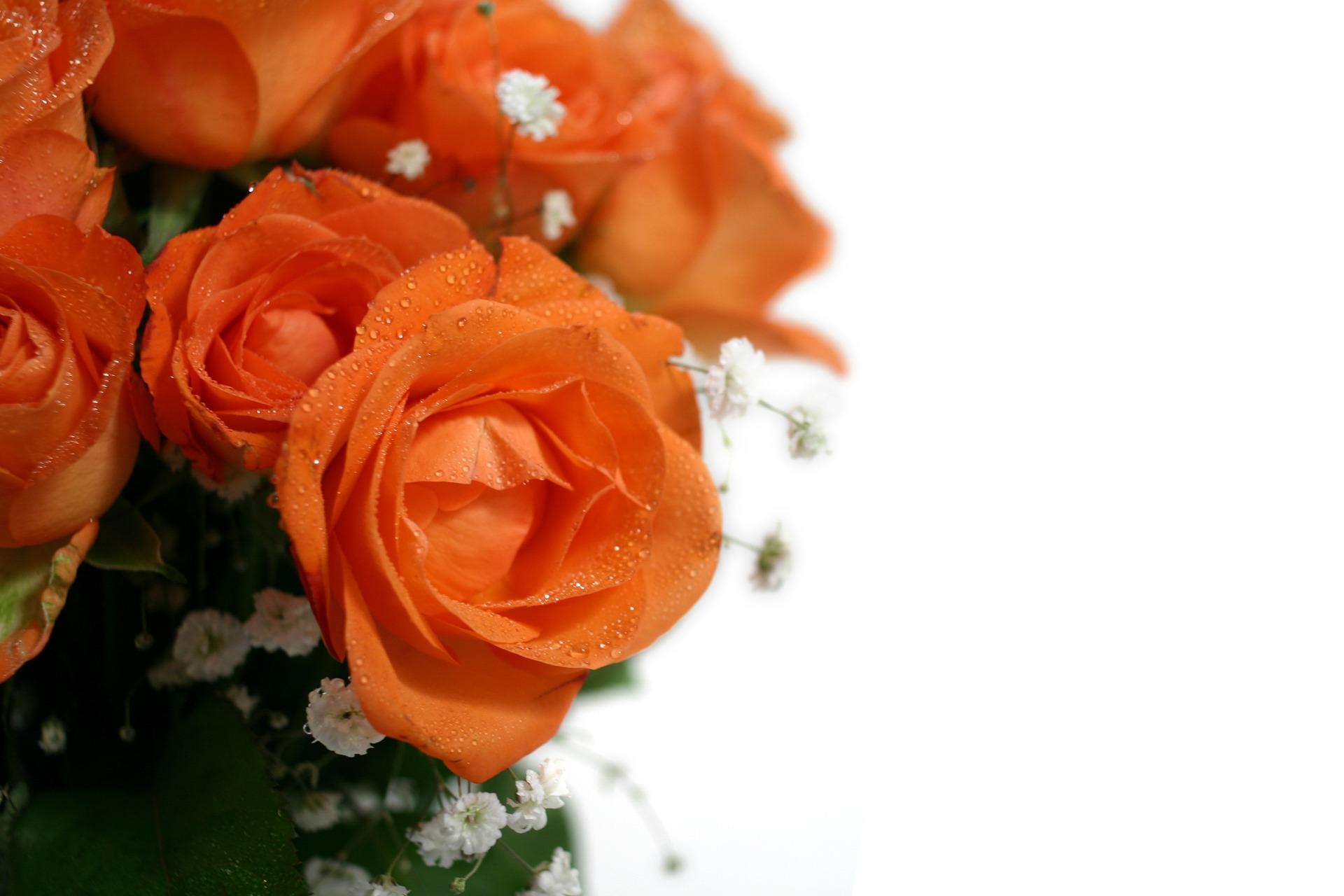 玫瑰壁纸桌面_30个玫瑰花桌面壁纸