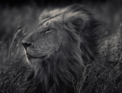 Attin Viitala黑白动物肖像摄影欣赏