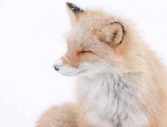 Hiroki Inoue动物摄影欣赏:狐狸