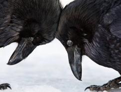 2016年美国奥杜邦鸟类摄影大赛获奖作品欣赏