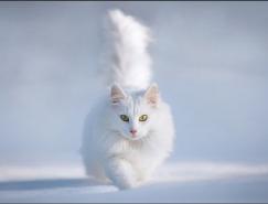 PS快速蒙版及调整边缘快速抠出白猫