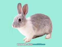 PS通道及鋼筆工具摳出白褐相間的兔
